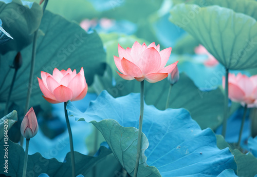 Foto op Aluminium Lotusbloem Lotus flower and Lotus flower plants