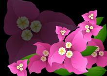 Pink Bougainvillea Flowers On Black Background