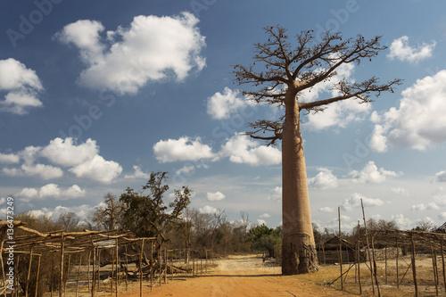 Keuken foto achterwand Baobab Baobab Alley in Madagascar, Africa. Beautiful and colourful land