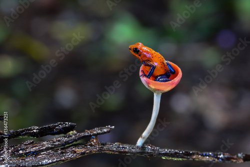 Photo sur Toile Grenouille Blue jeans dart frog in Costa Rica sitting in a fungi cap