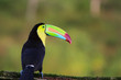canvas print picture Keel-billed toucan in the rainforest sitting on a branch