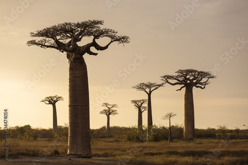 Keuken foto achterwand Baobab Landscape with Baobab in front and in background in Madagascar,