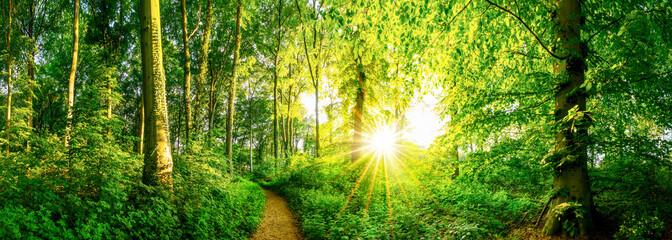 FototapetaWald im Frühling mit Sonne und Waldweg