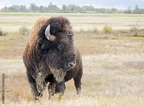 Closeup of a wild American Buffalo (Bison bison)
