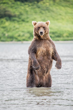 The Bear Stands On Its Hind Legs