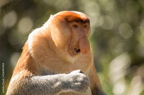 Portrait of fabulous long-nosed monkey