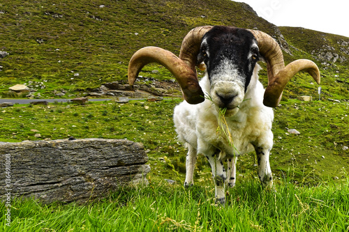 Fotografija  Scottish Blackface - Ovis aries