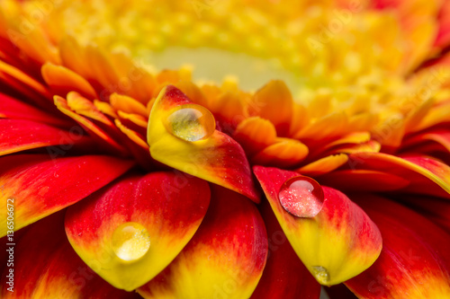 Foto Macro of water drops on a red and yellow gerber