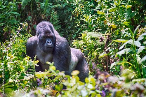 Mountain gorilla, Volcano National Park, Rwanda