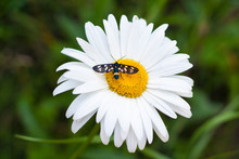 Daisy With A Small Insect