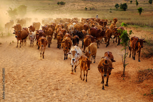 Photo sur Toile Vache livestock at Vietnam, cowboy herd cows on meadow