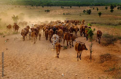 Poster de jardin Vache livestock at Vietnam, cowboy herd cows on meadow