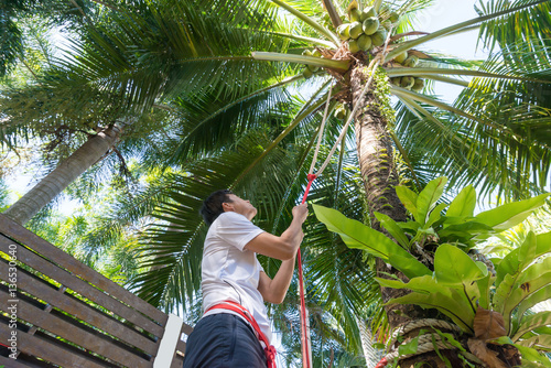 Foto auf AluDibond Palms Man climbing coconut palm tree. Male farmer hands holding safety rope while looking up at bunch of green coconut.