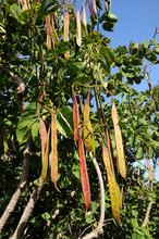 Bauhinia Variegata Orchid Tree...
