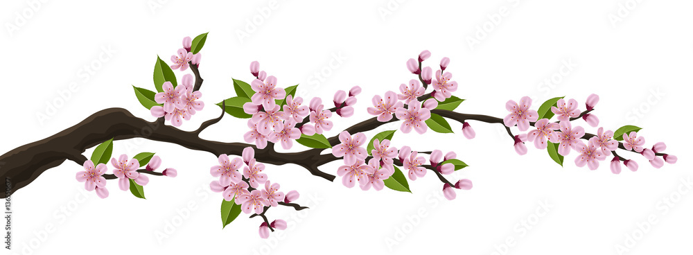 Fototapeta Cherry tree branch with pink flower and green leaf. Illustration for horizontal spring banner and design, isolated on white