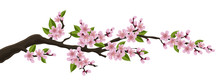 Cherry Tree Branch With Pink Flower And Green Leaf. Illustration For Horizontal Spring Banner And Design, Isolated On White