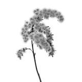 sucha czarno biała roślina na białym tle o wysokim kontraście  - 136554239