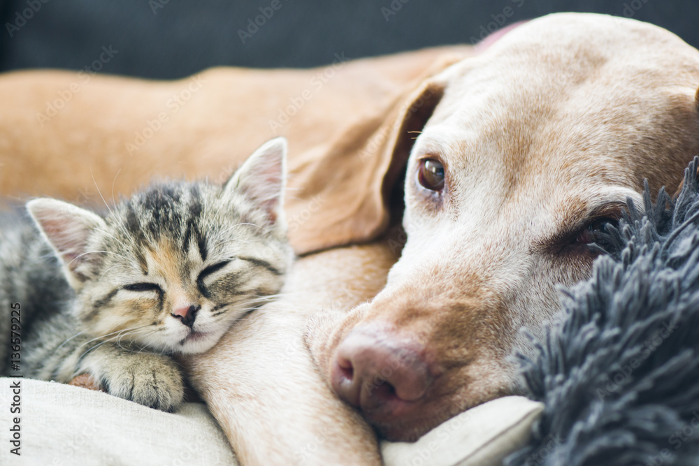 Fototapety, obrazy: Dog and small cat laying on a couch