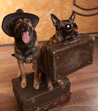 Two Dog Travelers With Casees