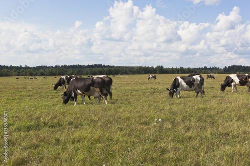 Tuinposter Koe Herd of cows is grazed in the meadow