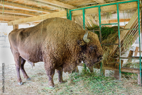 Fotografie, Obraz  Aurochs in the padurea domneasca, royal forest, reservation in Moldova
