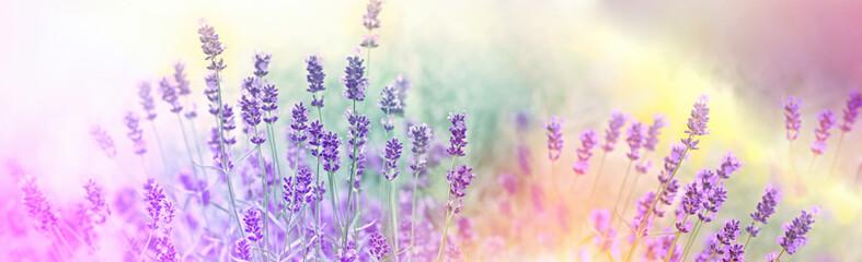 Soft focus on lavender flowers in flower garden, lavender flowers lit by sunlight