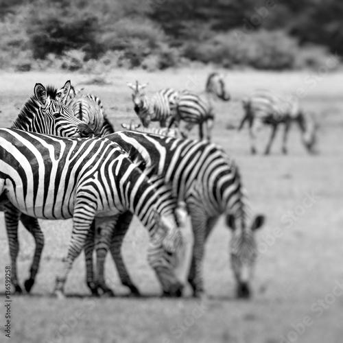 Furniture stickers Zebra Zebra portrait on African savanna. Safari in Serengeti, Tanzania