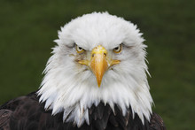 Bald Eagle (Haliaeetus Leucoce...