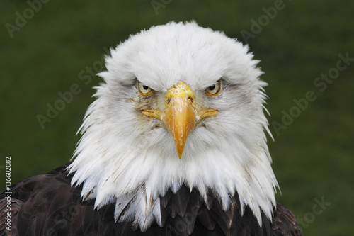 Spoed Foto op Canvas Eagle Bald Eagle (Haliaeetus leucocephalus) head portrait