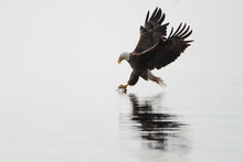 American Bald Eagle (Haliaeetus Leucocephalus) About To Catch A Fish, Florida, USA