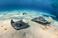 A Pair Of Southern Stingrays S...
