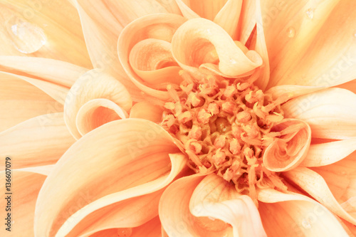 Extreme close up of orange dahlia Wallpaper Mural