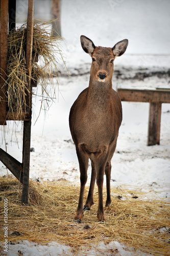 Vászonkép  roe deer in Reserve Bialowieza Forest, Belarus