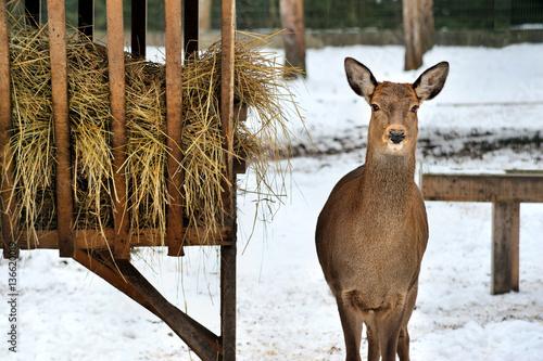 Vászonkép  roe deer near rack in Reserve Bialowieza Forest