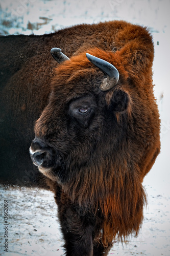 portrait of European bison in winter forest. Tapéta, Fotótapéta