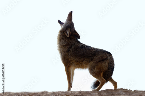 Canis latrans / Coyote Wallpaper Mural