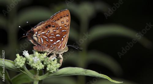 Butterfly, Butterflies feed on the flower, Aberrant Silverline ( Cigaritis vixin Wallpaper Mural