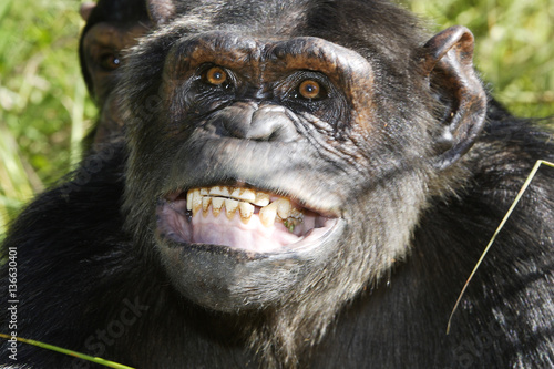 In de dag Aap Pan troglodytes / Chimpanzé