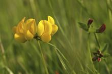 Lotus Corniculatus / Lotier Corniculé
