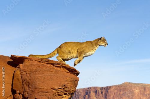 Poster de jardin Puma Puma concolor / Puma / Cougar