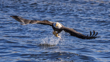 Bald Eagle Grabs Fish From The...