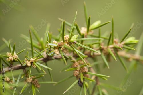 Fotografía  Juniperus oxycedrus / Genévrier oxycèdre