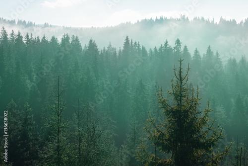 szczyty-drzew-w-lesie-iglastym