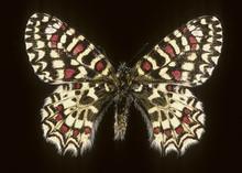 Zerynthia Rumina Cassandra / Proserpine