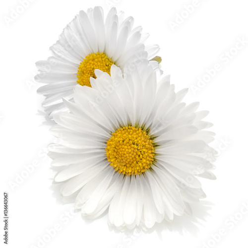 Foto op Canvas Madeliefjes Beautiful daisy flowers isolated on white background cutout
