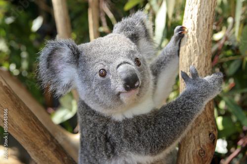 Naklejki koala  phascolarctos-cinereus-koala-cendre-koala