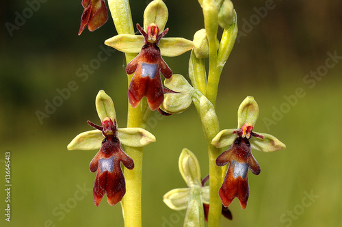 Papiers peints Orchidée Ophrys insectifera / Ophrys mouche