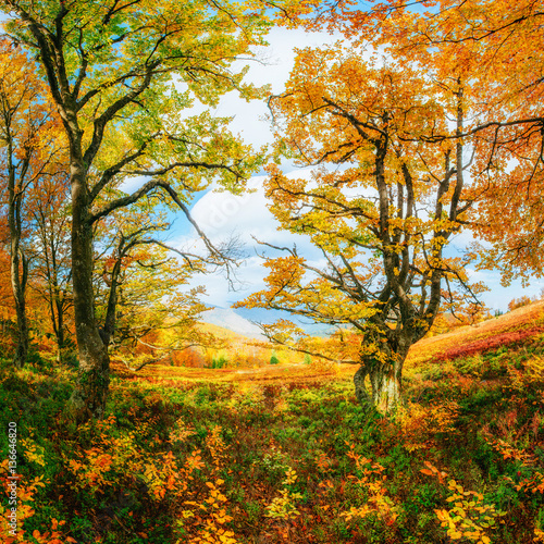 Fototapety, obrazy: birch forest in sunny afternoon while autumn season.