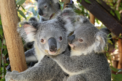 Canvas Prints Koala Phascolarctos cinereus / Koala cendré / Koala