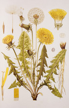 Illustration Botanique / Taraxacum Officinale / Pissenlit